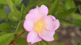 センセーショナルファンタジーの開花