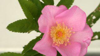 薔薇二種類