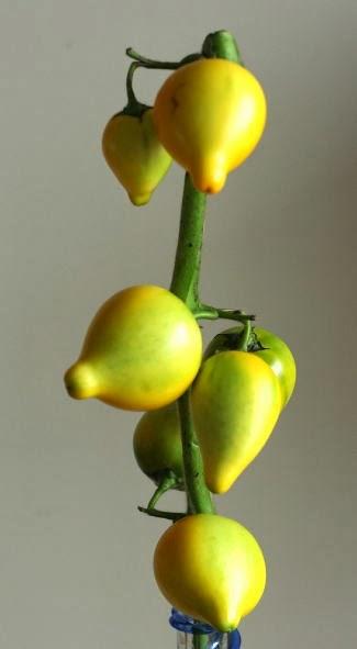フォックスフェイス レモンみたいな花