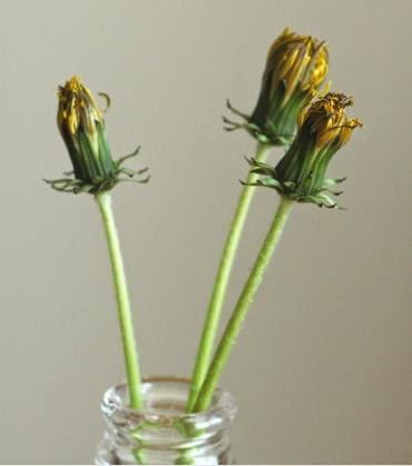たんぽぽの花の後
