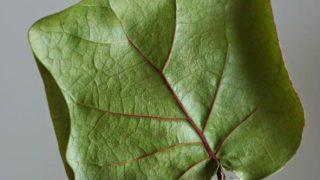 シーグレープの葉っぱをドライにする