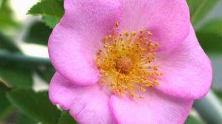 ピンクのバラの画像をまとめておきます