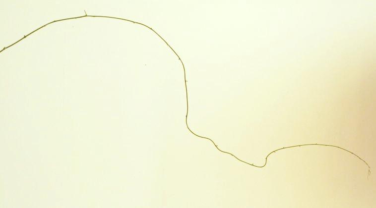 花材 アスパガラス プルモーサス