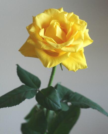 バラ(黄)