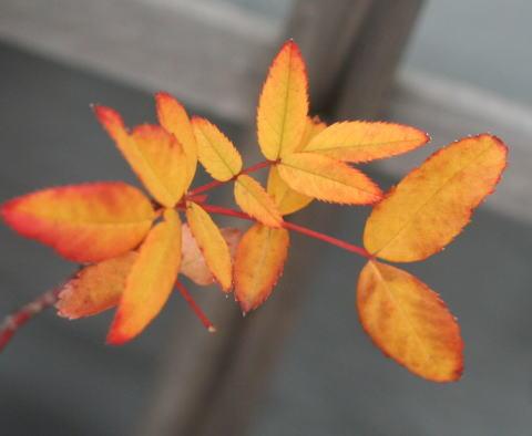 バラの紅葉