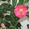 自分が使った花材事典:椿