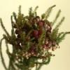 自分が使った花材事典:バーゼリア(ストロベリーピンク)