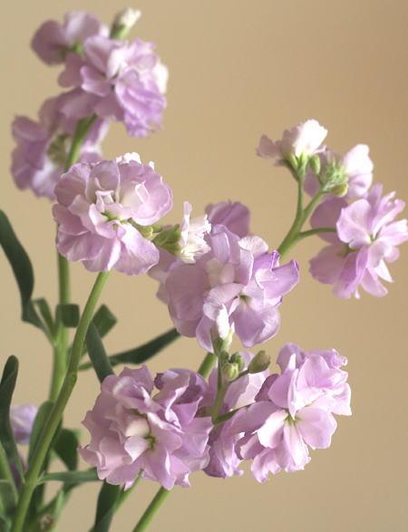 スプレーストック(薄紫)