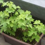 ものすごく期待している植物二種