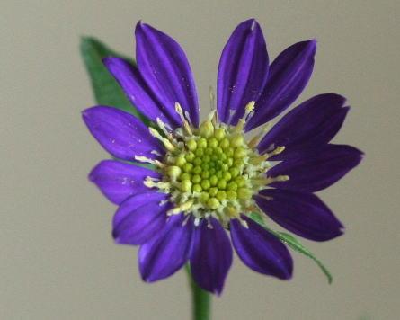 ミヤコワスレ(紫)