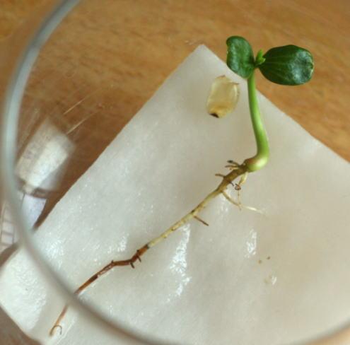 ナンキンハゼの芽