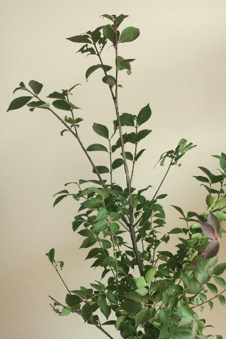 ニシキギ(葉つき)