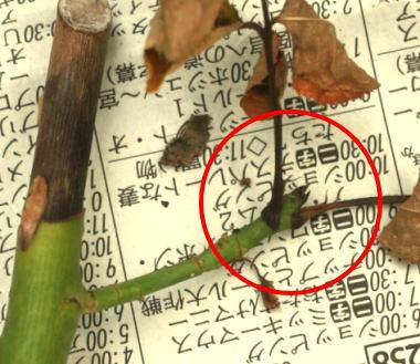 挿し木のスプレーバラ