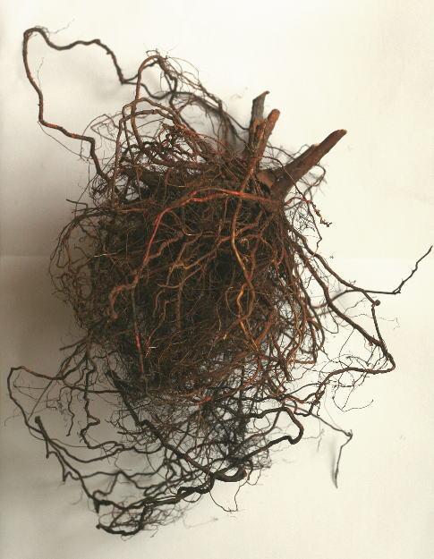 ノバラの根