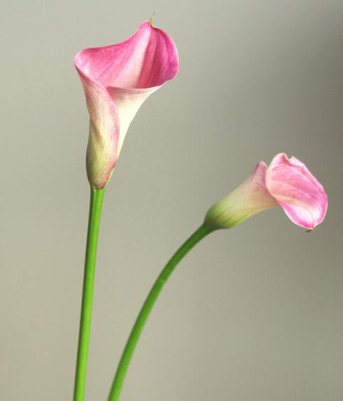 カラー(ピンク)