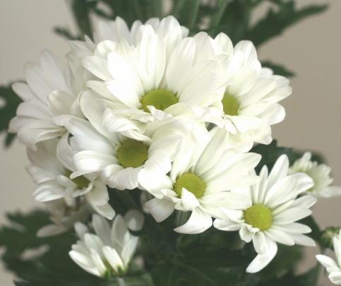 スプレー菊(白)