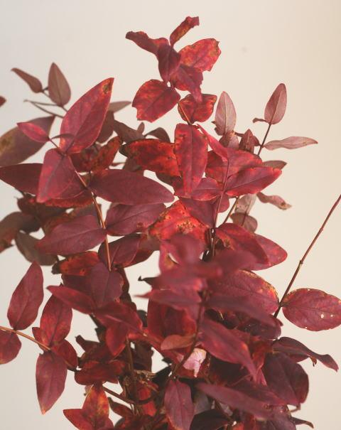 ヒペリカム 紅葉