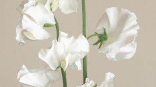 自分が使った花材事典:スイートピー(白)