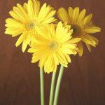 自分が使った花材事典:ガーベラ(黄 大輪)