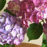 自分が使った花材事典:あじさい(青紫)