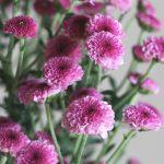 自分が使った花材事典:豆菊(スプレー菊:ピンク)