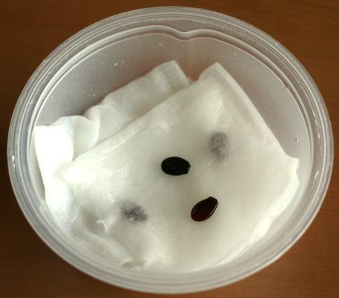 スイカの種 発芽実験