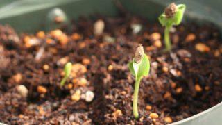 2018年版 花の情報局の自由研究:スイカを食べて、スイカを植えよう その3