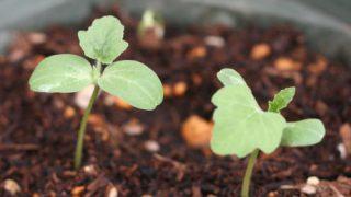 2018年版 花の情報局の自由研究:スイカを食べて、スイカを植えよう その4