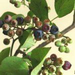 自分が使った花材事典:ブルーベリー