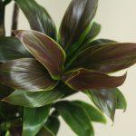 自分が使った花材事典:ドラセナ(グリーンコンパクタ)
