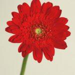 自分が使った花材事典:ガーベラ(赤・八重)