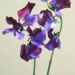 自分が使った花材事典:スイートピー(濃淡紫)