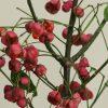 自分が使った花材事典:マユミ