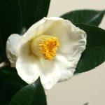 自分が使った花材事典:白玉ツバキ