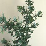自分が使った花材事典:銀葉アカシア