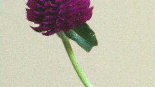 自分が使った花材事典:千日紅(紫)