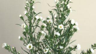 自分が使った花材事典:孔雀草(白)