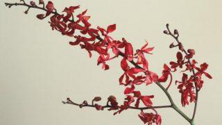 自分が使った花材事典:レナンセラ(赤)