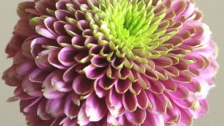 自分が使った花材事典:ピンポン菊(ジェニーダークピンク)