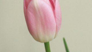 自分が使った花材事典:チューリップ(薄ピンク)