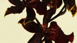 自分が使った花材事典:オンシジウム(ボブキャット)