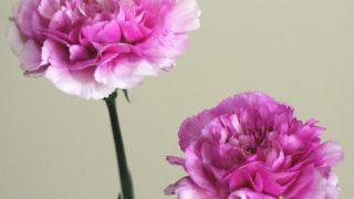 自分が使った花材事典:カーネーション(パープルピンクぼかし)