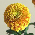 自分が使った花材事典:ピンポン菊(ジェニーオレンジ)