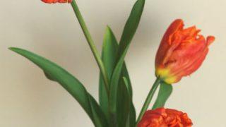 自分が使った花材事典:チューリップ(オレンジ、パロット咲き)