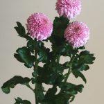 自分が使った花材事典:ピンポン菊(薄ピンク)