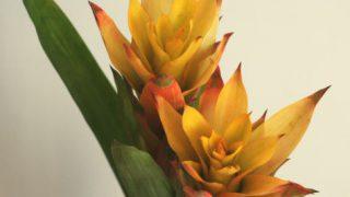 自分が使った花材事典:グズマニア(黄)
