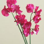 自分が使った花材事典:スイートピー(濃ピンク)