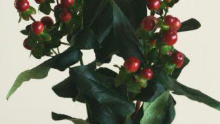自分が使った花材事典:ヒペリカム(ココグランド)