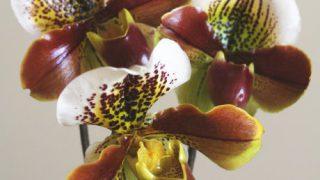 自分が使った花材事典:パフィオペディラム