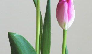 自分が使った花材事典:チューリップ(桃太郎)